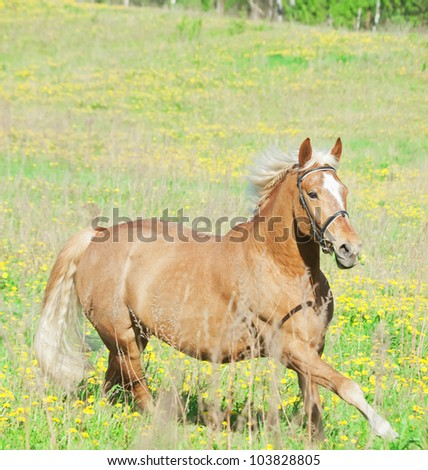 palomino hack horse in the spring field in movement
