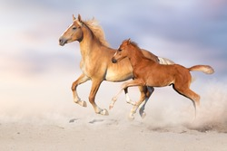 Palomino horse and red foal free run in sandy dust