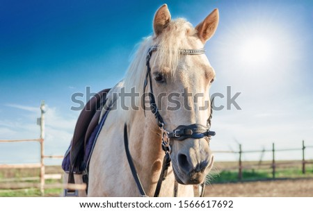 palomino horse portrait in paddock at the stable #1566617692