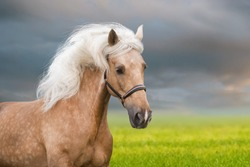 Palomino horse with long mane portrait in motion