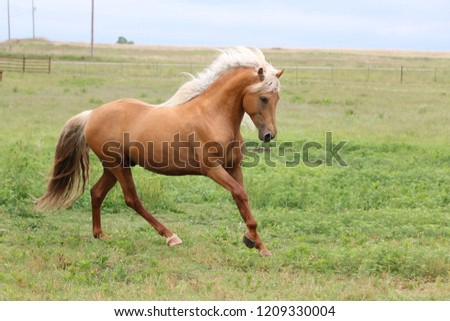 Palomino Morgan Stallion #1209330004