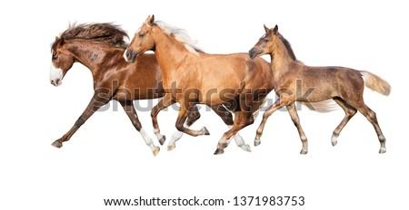 Palomino,red and buckskin horses run isolated #1371983753