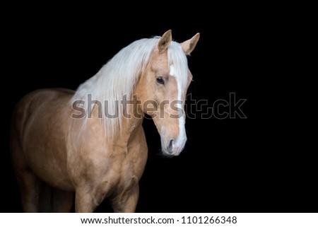 Palomino stallion isolated on black background #1101266348