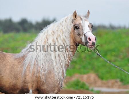 palomino welsh mounatin pony