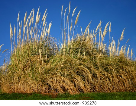 Pampas grass a very tall ornamental grass gynerium for Very tall ornamental grasses