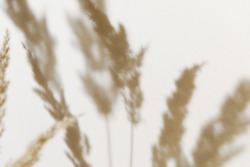 Pampas grass branch on pastel neutral beige background. Flat lay. Minimal, styled concept for bloggers with reeds foliage, sun light and trendy shadow