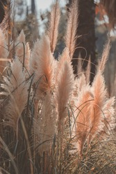 pampas grass bushes in sunlight in autumn day trendy art nature poster