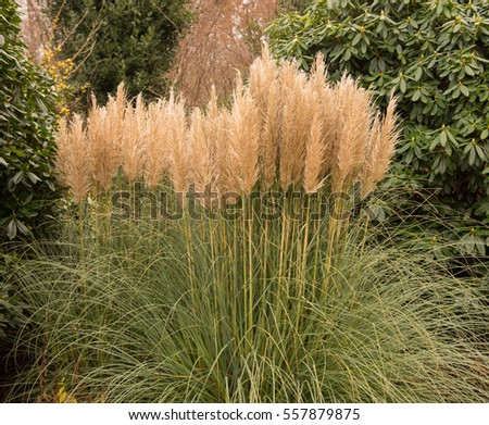 free photos pampas grass cortaderia selloana in the. Black Bedroom Furniture Sets. Home Design Ideas