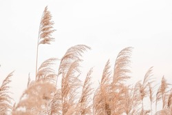 Pampas grass outdoor in light pastel colors. Dry reeds boho style.