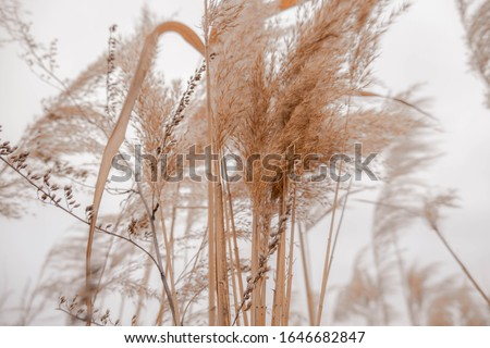 Pampas grass outdoor in light pastel colors. Dry reeds boho style  Stock photo ©