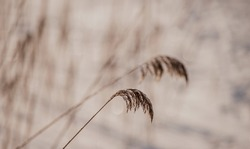 Pampas grass outdoor in light pastel colors. Dry reeds boho style. Abstract natural background