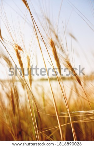 Pampas grass outdoor in light pastel colors. Sunny wheat wallpaper in boho style. Golden ripe ears on sunny morning. Soft light nature banner. Boho wedding invitation photo. Yoga classes natural mood.