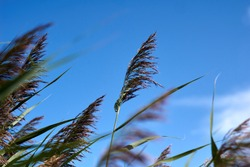 Pampas grass with blue sky and clouds at sunny day. Landscape with dried reeds and grass. Natural background, outdoor, golden colors.