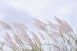 Pampas grass with light blue sky and clouds. Cortaderia selloana, pampas grass is beautiful under blue sky.