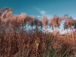 Pampas grass with tidewater green sky and clouds. Autumn landscape with dried reeds. Natural grass background, outdoor, beige colors, blue tone, fluffy texture