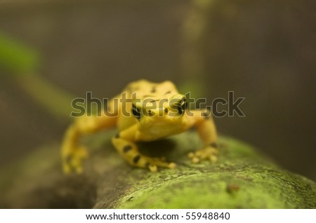 panamanian golden frog over tree