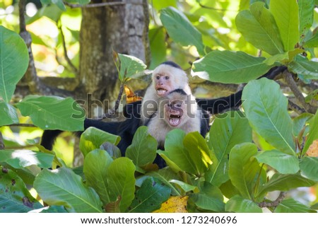 Panamanian white headed capuchin monkeys mating in an almond tree in the Carara National Park in Costa Rica Foto stock ©