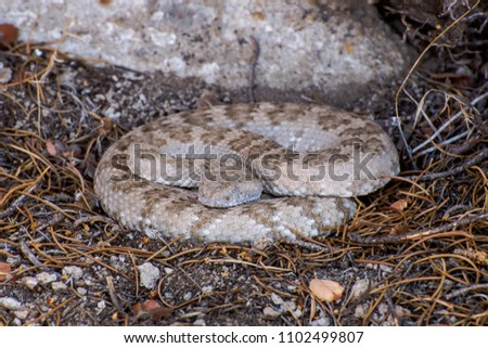 Panamint Rattlesnake (Crotalus mitchellii stephensi) under a Pinyon pine tree in Basin and Range National Monument, Lincoln County, Nevada, USA.