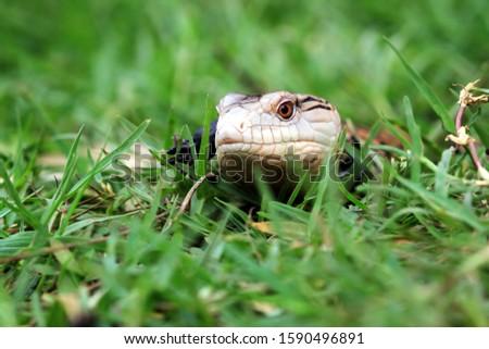 Panana lizard closeup face, animal closeup, reptile closeup