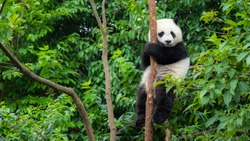 Panda baby cub sitting in tree in China