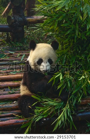 Panda bear eating babmboo at Chengdu Giant Panda Breeding Center Sichuan China - stock photo