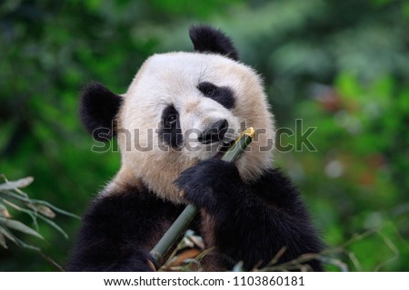 Panda Bear Enjoying/Eating Bamboo, Bifengxia Panda Reserve in Ya'an - Sichuan Province, China. Panda looking at the viewer and holding a large chunk of Bamboo. Endangered Species Animal Conservation