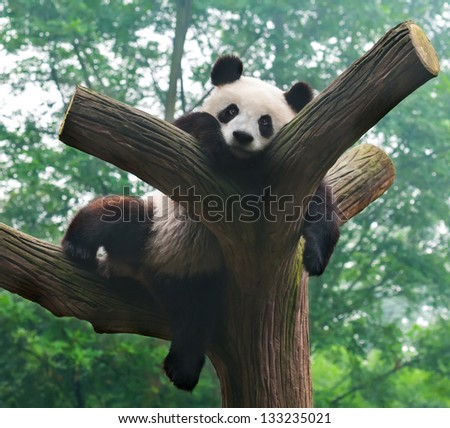 Panda bear funny pose in tree