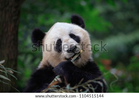 Panda Bear Looking at the viewer while eating some fresh Bamboo for lunch. Bifengxia Panda Reserve in Sichuan Province, China. Wildlife Conservation Area, Endangered Species