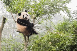 Panda Bear on Bamboo tree