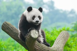 Panda bear sitting in tree