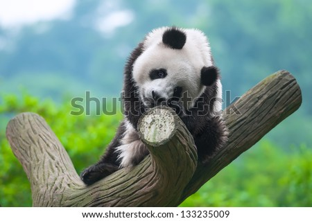 Panda bear sitting in tree - stock photo