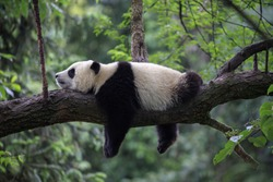 Panda Bear Sleeping on a Tree Branch, China Wildlife. Bifengxia nature reserve, Sichuan Province. Cute Lazy Baby Panda Sleeping in the Forest, Enjoying an afternoon nap with paws Hanging Down.