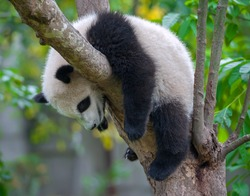 Panda bear tired and sleeping in tree