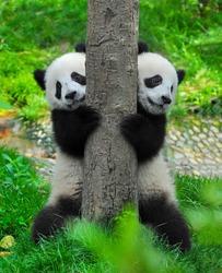 Panda bear twins