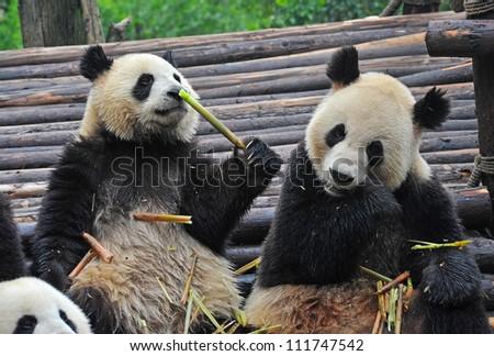 Panda bears eating bamboo shoots