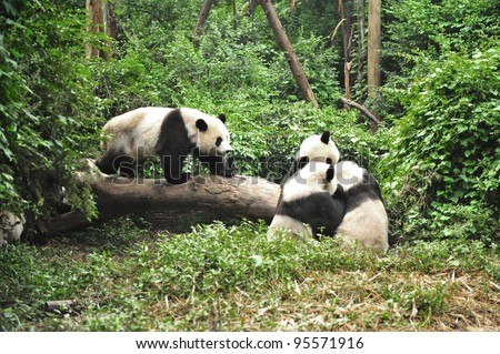 Panda in playing time in Chengdu Research Base of Giant Panda Breeding, China