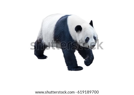 panda isolated on white with clipping path