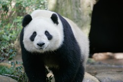 Panda looking at camera