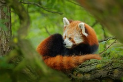 Panda lying on the tree with green leaves. Ailurus fulgens, red panda, detail face portrait of animal from Nepal mountain forest. Wildlife nature. Beautiful animal in the habitat, Asia. Cute animal.