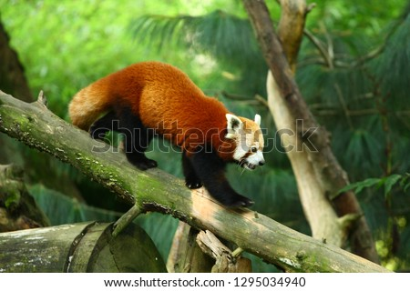 Stock Photo Panda red on tree