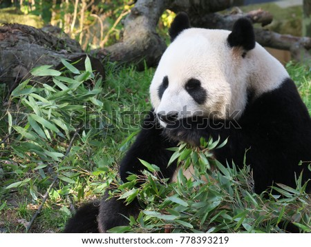 Panda sitting in the grass, eating a bunch of bamboo leaves