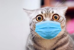 Panic cat in medical surgical mask. Physician antiviral mask on cat shock face. Face mask for animal - stop pandemic panic. COVID-19 coronavirus hantavirus concept. Coronavirus cat virus protection