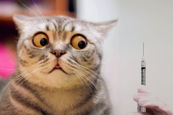 Panic cat scare of injection syringe or vaccine. Risk of vaccination - cat shock face. Vaccine for animal - no pandemic panic. COVID-19 coronavirus concept. Coronavirus vaccine as cat virus protection