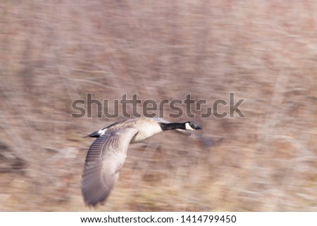 Panning Picture of Canada Goose in Flight