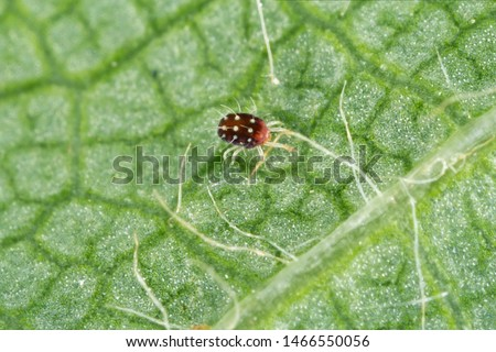 Panonychus ulmi the European red mite. It is a species of mite which is a major agricultural pest of fruit trees. Stock photo ©