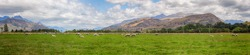 Panorama a Sheep in green grass field and mountain background in rural at South  Island New Zealand