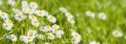 panorama background with daisies and fresh green grass