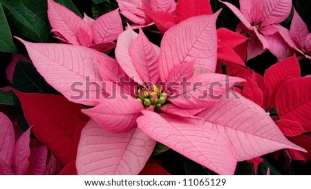 Panorama closeup of Christmas holiday poinsettia flowers. Robust group of dark pink and red flowers.