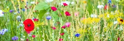 Panorama, colorful flower meadow at the heyday, red poppies and other wildflowers