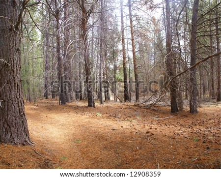 Panorama conifers and pine needle forest floor deschutes for Forest floor definition